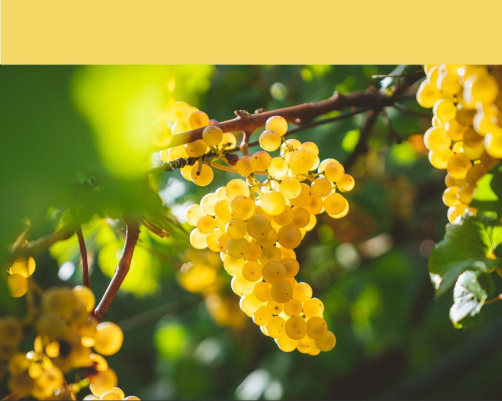Chardonnay Burgundy côte de Beaune